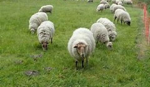 Kudde schapen begraast de dijken